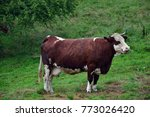 "cow ""abundance"" isolated in a... 