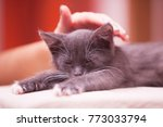 Stock photo woman hand touching small sleepy black kitten with white paws and closed eyes indoor blurred 773033794
