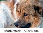 portrait of a cute big dog | Shutterstock . vector #773040586