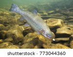 Rainbow Trout  Oncorhynchus...