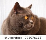 Stock photo portrait of brown british cat view of domestic big british cat with yellow eyes cat of british 773076118