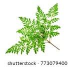 moringa leaves on white... | Shutterstock . vector #773079400