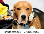 The Beagle Dog Sits In A...