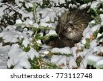 porcupine in wilderness.... | Shutterstock . vector #773112748