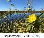 pretty yellow marsh marigold in ... | Shutterstock . vector #773130148