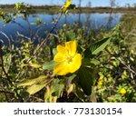 pretty yellow marsh marigold in ... | Shutterstock . vector #773130154