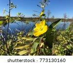 pretty yellow marsh marigold in ... | Shutterstock . vector #773130160