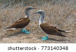 a couple of blue footed boobies ... | Shutterstock . vector #773140348