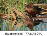 A Cinnamon Teal Male Duck...