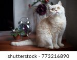 Stock photo white shorthair british cat with bright yellow eyes british cat breed sitting on table with a 773216890