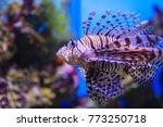 Pterois volitans. red lionfish  ...