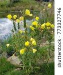 Evening Primrose  Oenothera ...