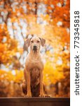 autumn photo of rhodesian... | Shutterstock . vector #773345818
