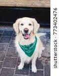 beautiful dog golden retriever...   Shutterstock . vector #773402476