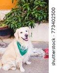 beautiful dog golden retriever...   Shutterstock . vector #773402500