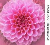 Delicate Petals Of A Pink Roun...