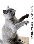 Beautiful Grey British Cat...