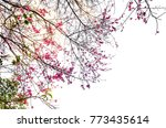 wild himalayan cherry isolated... | Shutterstock . vector #773435614
