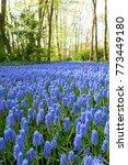 Grape Hyacinth Field