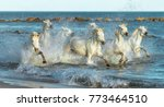 white camargue horses galloping ...   Shutterstock . vector #773464510
