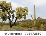 Chain Fruit Cholla  Saguaro An...