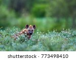 spotted hyena in kruger... | Shutterstock . vector #773498410