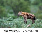 spotted hyena in kruger... | Shutterstock . vector #773498878