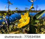 pretty yellow marsh marigold in ... | Shutterstock . vector #773534584