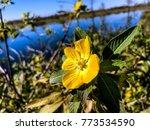 pretty yellow marsh marigold in ... | Shutterstock . vector #773534590