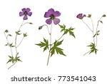 Stock photo picture of dried flowers geranium psilostemon armenian cranesbill in several variants herbarium 773541043
