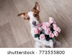 Stock photo the dog is holding flowers in the paws st valentine s day lovely jack russell terrier gives a 773555800