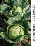 Cabbage  Brassica Oleracea  In...