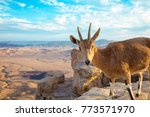 a nubian ibex on the edge of... | Shutterstock . vector #773571970