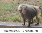 baboon  is in the monkey family.... | Shutterstock . vector #773588878