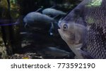 large fishes swimming in a... | Shutterstock . vector #773592190