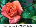 Stock photo beautiful rose flower with water dew drops in garden free space natural floral background with 773621494