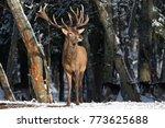 smell of spring deer breathing... | Shutterstock . vector #773625688