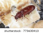 the red flour beetle tribolium... | Shutterstock . vector #773630413