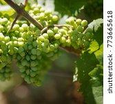 grape wine sunny natural fruits ...   Shutterstock . vector #773665618