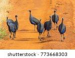 Group Of Guineafowls. Tsavo...