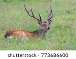 sika deer in merlet animal park.... | Shutterstock . vector #773686600