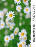 spring flowers daisy summer...   Shutterstock . vector #773711044