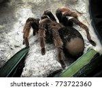 a huge spider  goliath bird... | Shutterstock . vector #773722360