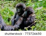 Mountain Gorilla Twins Are Ver...