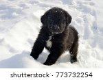 Stock photo newfoundland puppy enjoying the snow 773732254