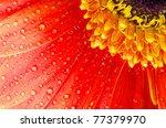 Gerbera Flower Close Up...
