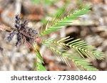 mimosa invisa  giant sensitive...   Shutterstock . vector #773808460