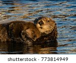 sea otter and pup  morro bay  ca   Shutterstock . vector #773814949
