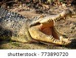 crocodiles or true crocodiles...   Shutterstock . vector #773890720