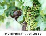 beautiful vineyards in summer... | Shutterstock . vector #773918668
